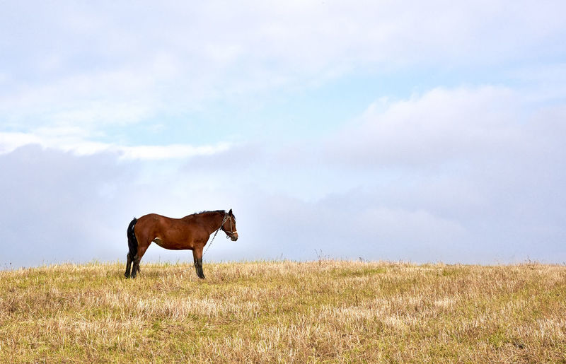 Horse standing on grassy field against cloudy sky