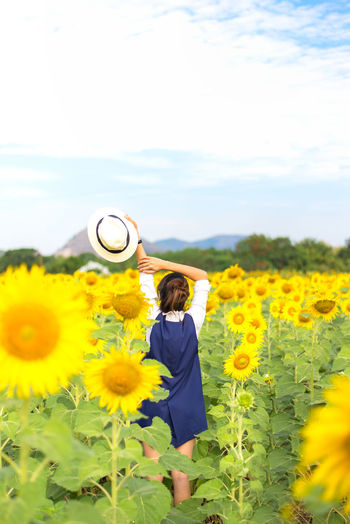 Rear view of yellow sunflowers in field