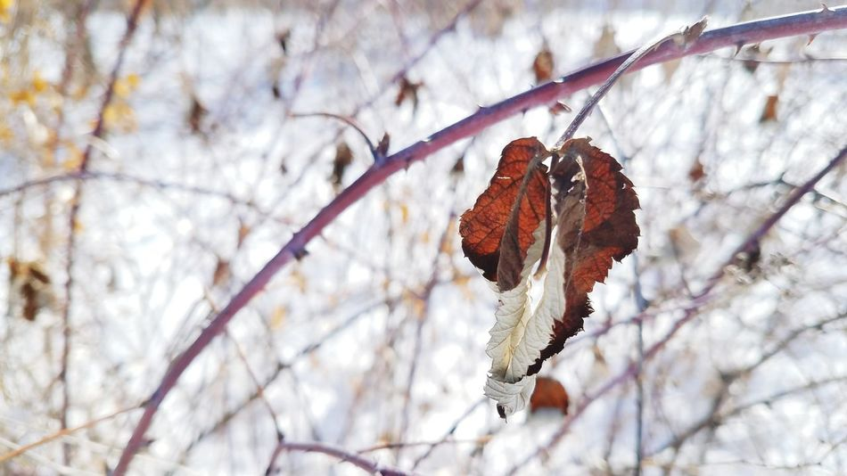 EyeEm Selects Branch Winter Nature Tree Cold Temperature Focus On Foreground Leaf Beauty In Nature Change No People Day Outdoors Snow Close-up Bare Tree Fragility