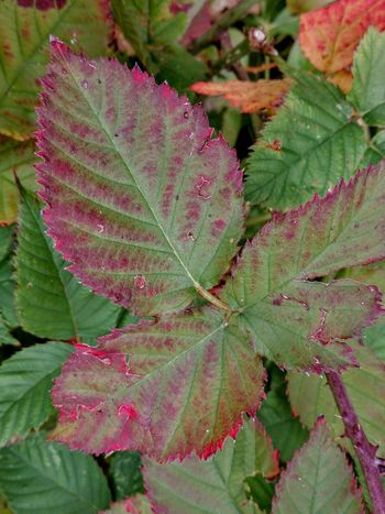 Raspberry Plant Fall Colors Leaf Pink Color Red Close-up Plant Plant Part Botany