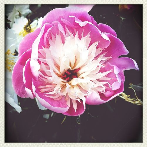 Peony heaven Flowers