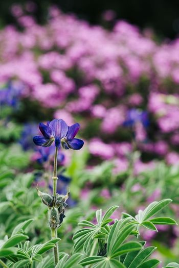 Beauty In Nature Close-up Day Flower Flower Head Flowerbed Flowering Plant Focus On Foreground Fragility Freshness Growth Herb Inflorescence Leaf Nature No People Ornamental Garden Outdoors Petal Plant Plant Part Purple Springtime Vulnerability