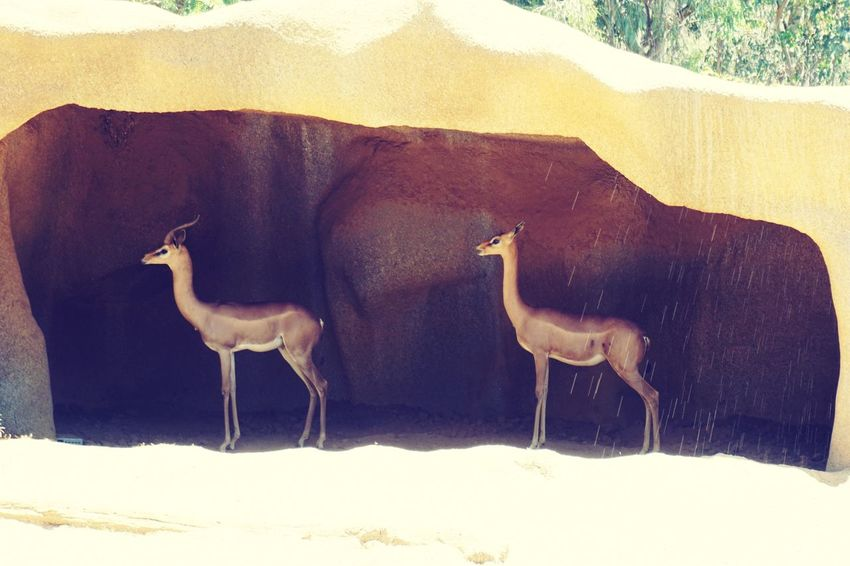 EyeEm Selects Two Of A Kind Animal Themes No People Nature Animal Wildlife Standing San Diego Zoo Outdoors Two Twins