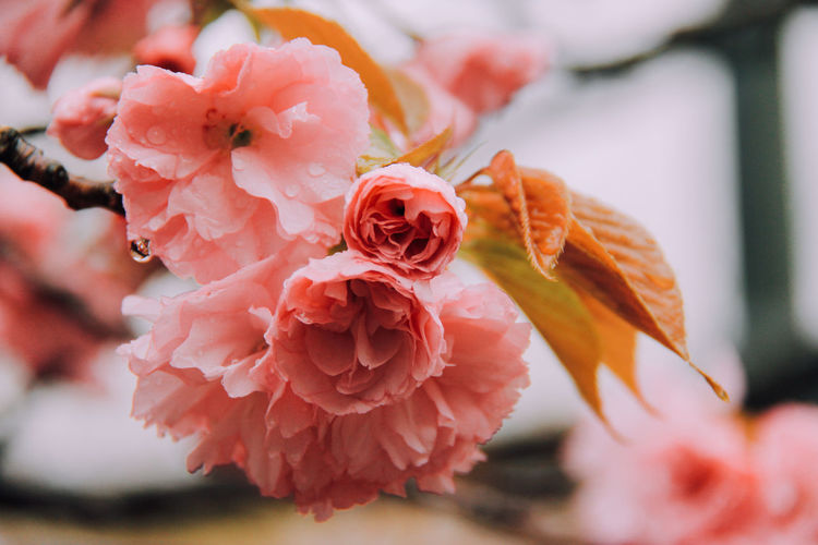 Champagne color Beauty In Nature Blooming Close-up Day Flower Flower Head Focus On Foreground Fragility Freshness Growth Nature No People Outdoors Petal Pink Color Plant Water