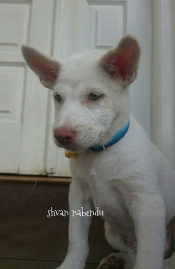 shvan nabendu Hello World Canggu Bali Shvan Shvannabendu Dogs Of EyeEm Mixed Breed Ilovemydog Ilovebalidog