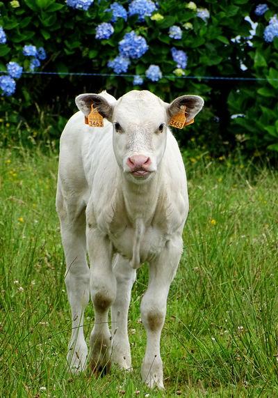 Mammal Domestic Cattle Livestock Calf One Animal Animal Domestic Animals Plant Animal Photography Animal Portrait Nature Cow Animal Themes Land