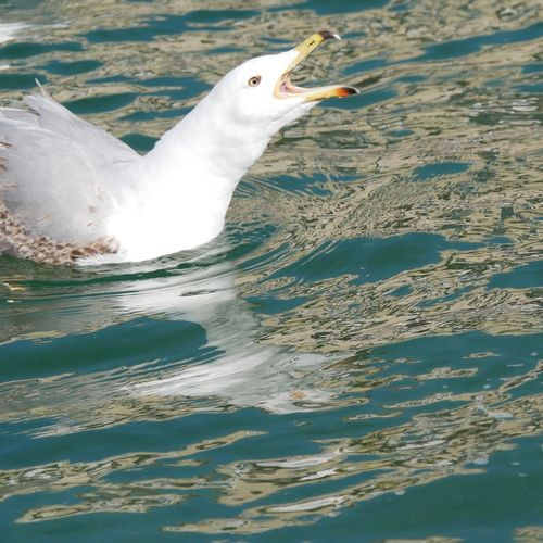 Seagull Water