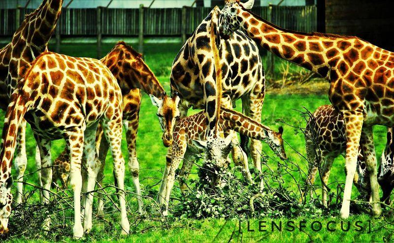 Animal Wildlife Eyeemphotography Rebel T2i Woburn Safari Park Wildlife Photography Amateurphotography Canon550D Wildlife & Nature Giraffes!