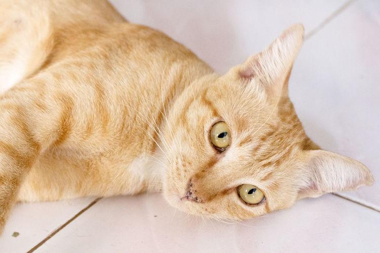 High angle portrait of tabby cat lying on tiled floor