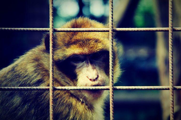 Monkey One Animal Sad Face Monkey Face Sad Monkey Visual Creativity