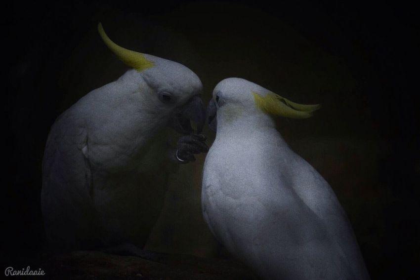 เรามีเรา ( We have us ) : : 🕊🕊 12/07/2017☕️ Bird Animal Themes No People Close-up Marco Photography White Whiteandblack Pet Portraits