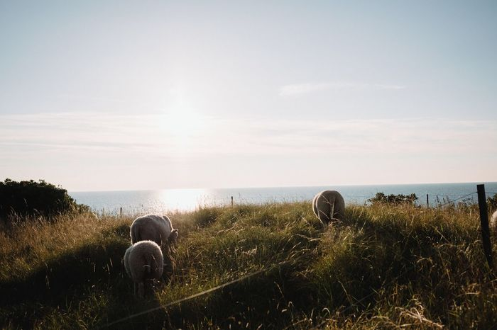 EyeEm Selects Sheep Grass Nature Beauty In Nature Tranquil Scene Tranquility No People Scenics Outdoors Landscape Sky Field Water Sea And Sky Sea Horizon Over Water Golden Hour Denmark Scandinavia Baltic Sea Sunset
