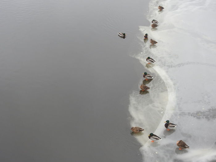 High angle view of duck's feeding on ice