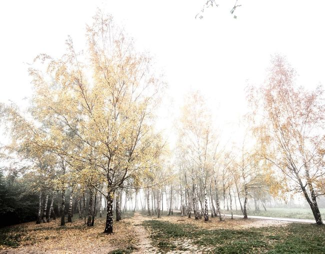 foggy birch grove. Tree Nature Tranquility Landscape Beauty In Nature Tranquil Scene No People Scenics Outdoors Day Forest Autumn Grass Branch Sky Berlin Mauerpark Prenzlauer Berg Foggy Morning Foggy Day