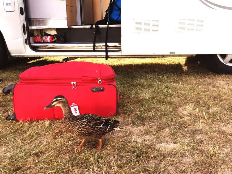 Omarama New Zealand Baggage Luggage Red Duck Female Duck Camping Holiday Park Break South Island Holiday