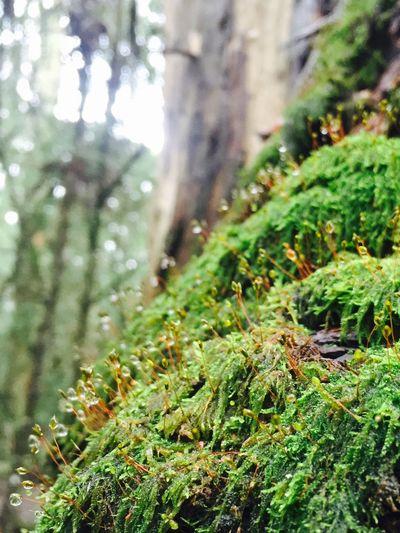 Anonymous Australiana Australiana Bush Photographic Approximation Mistic Forest