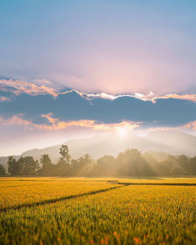 Beautiful morning fog in the rice field background.