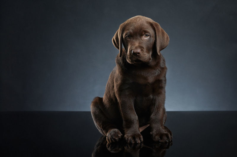Labrador retriever dark brown puppy Animal Themes Brown Dog Domestic Animals Green Eyes Labrador Chocolate Labrador Retriever Labradorchocolate Looking At Camera No People One Animal Pets Puppy Qute Animals Sitting Studio Shot Pet Portraits
