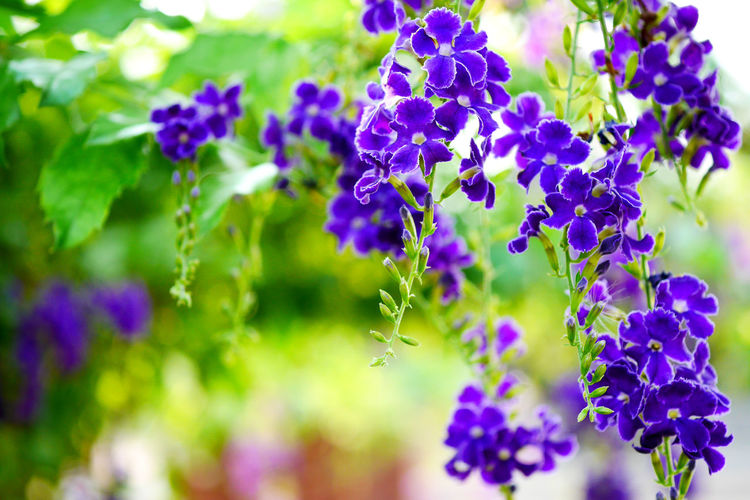 Flowering Plant Flower Plant Beauty In Nature Purple Freshness Nature Close-up No People Petal Flower Head Inflorescence Outdoors Drip Candle Duranta Erecta Green Color Flower Garden