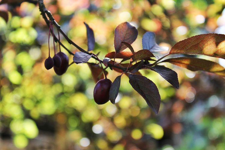 Close-up of cherry plum growing on tree