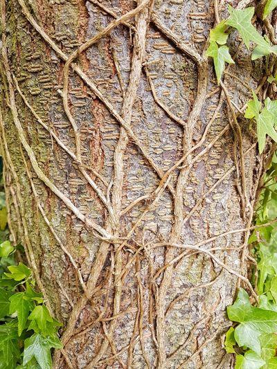 Close-up nature Nature Textures Efeu Auf Stamm Efeu