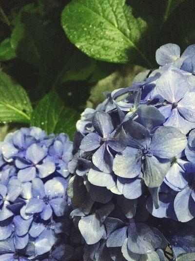 紫陽花 あじさい あじさい Hydrangea Flower 雨 Rain 梅雨 夜 Night