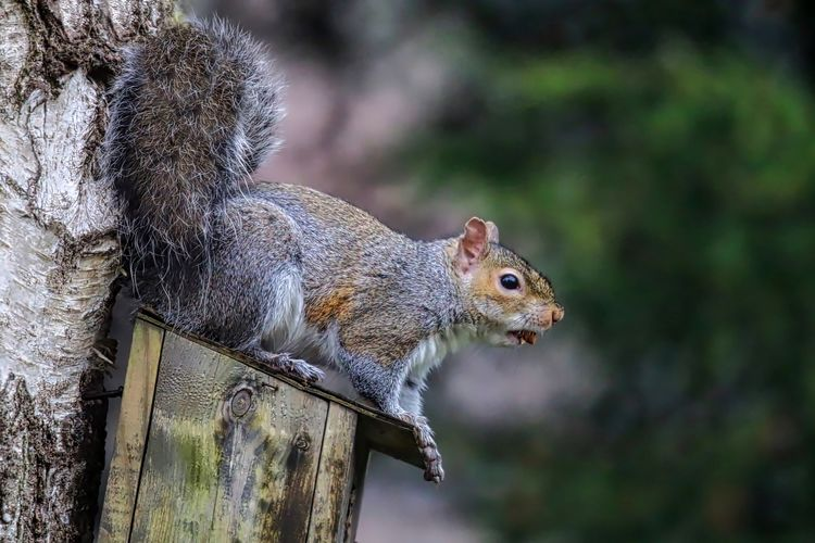 Side view of gray squirrel on birdhouse
