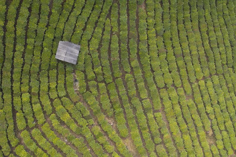 High angle view of corn field