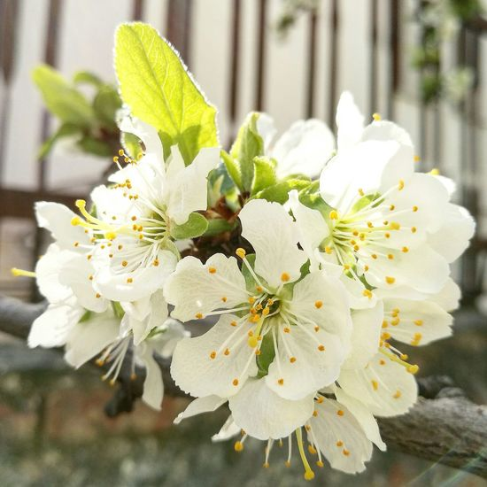 Nature Growth White Color Flower Leaf Outdoors No People Close-up Beauty In Nature Plant Day Stamen Flower Head Freshness Branch Fragility Pistil Beautiful Italy Cute Blossom Plum Blossom Plum Flower