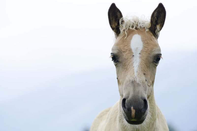 Horse Foal Misty Animal Head  Animal Themes Beige Color Close-up Cold Temperature Color Cute Day Domestic Animals Fog Front View Horse Horse Foal Looking At Camera Mammal Nature No People One Animal Outdoors Portrait Young Animal