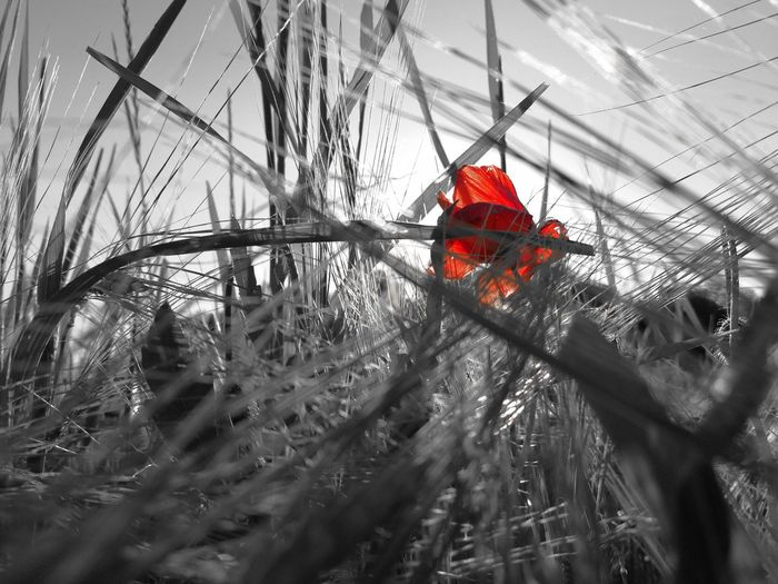 Red Nature No People Outdoors Growth Low Angle View Beauty In Nature Sky Black And White Photography Black And White With A Splash Of Colour EyeEm Nature Collection EyeEm Nature Lover Outdoor Photography EyeEm Best Edits The Great Outdoors - 2017 EyeEm Awards EyeEm Selects Getting Inspired EyeEm Best Shots - Nature EyeEmBestPics EyeEm Gallery EyeEmBestEdits EyEmNewHere EyeEmbestshots EyeEm Master Class EyeEm Flower