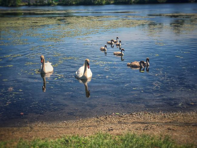 A Family of Swans near the shore of Arcade Pond Bird Animal Themes Animal Group Of Animals Water Animal Wildlife Animals In The Wild Vertebrate Lake Nature No People Day Beauty In Nature Medium Group Of Animals Water Bird Outdoors Animal Family