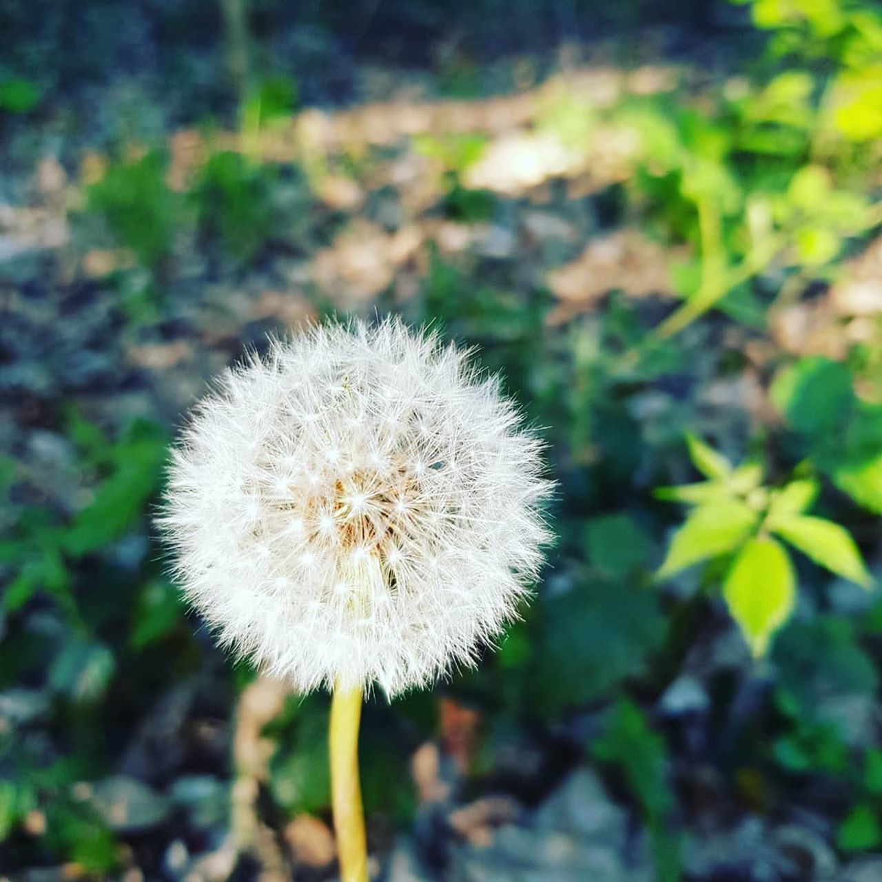 plant, flower, flowering plant, freshness, fragility, dandelion, vulnerability, close-up, beauty in nature, growth, nature, flower head, inflorescence, focus on foreground, day, no people, white color, uncultivated, land, outdoors, softness, dandelion seed