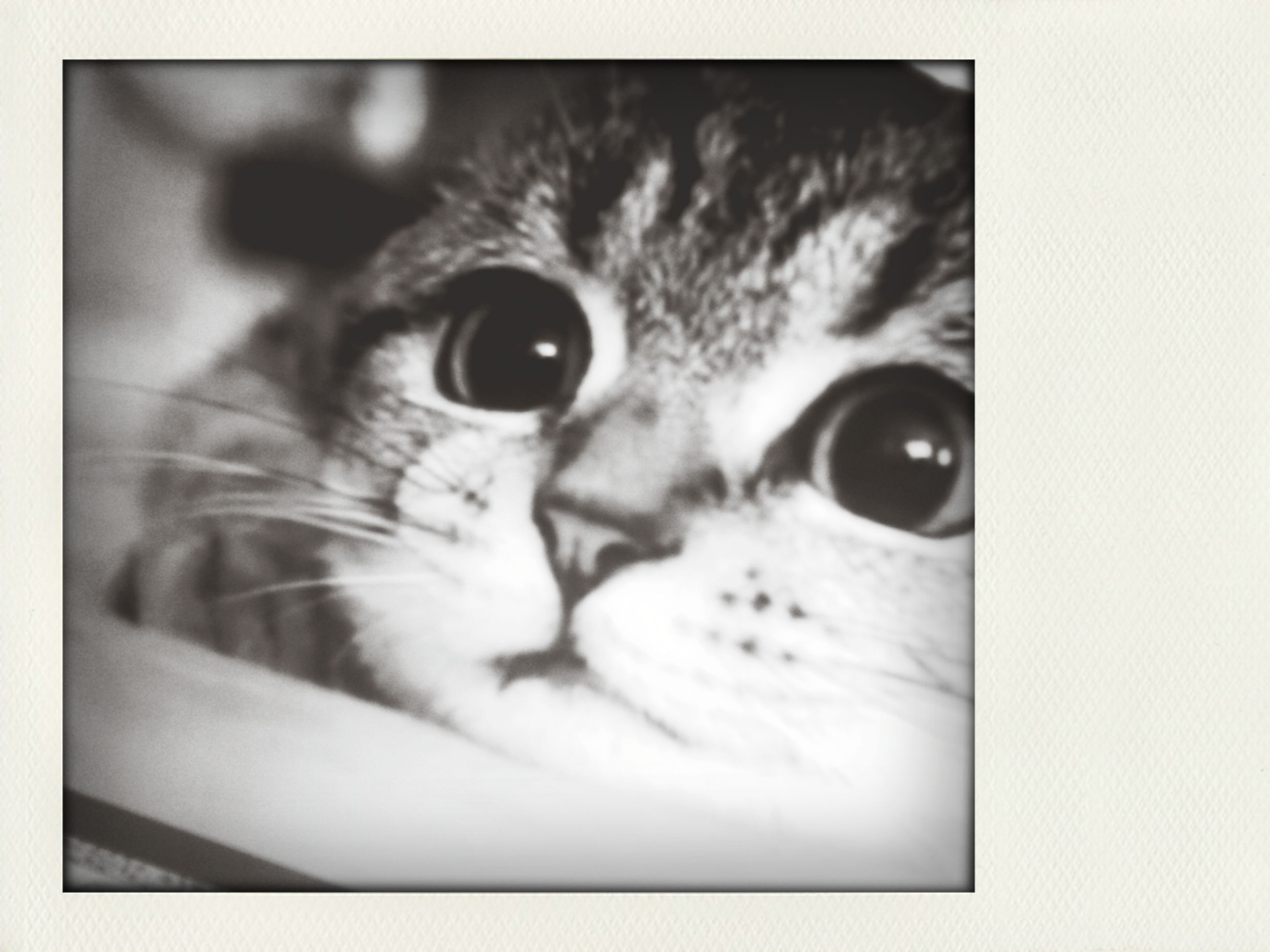 pets, one animal, domestic cat, animal themes, domestic animals, cat, indoors, feline, transfer print, looking at camera, portrait, close-up, whisker, mammal, auto post production filter, animal eye, animal head, staring, alertness, animal body part