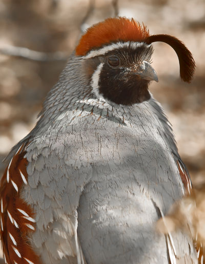 A portrait photo of an Arizona Gambel's Quail. This particular quail is a male. Arizona Gambel's Quail Animal Themes Animal Wildlife Animals In The Wild Beak Bird Close-up Day Focus On Foreground Nature No People One Animal Outdoors Quail