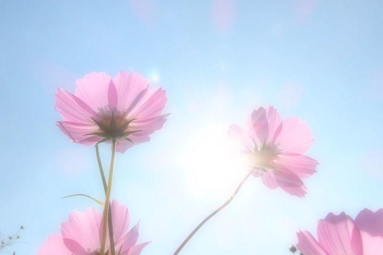 薄紅の秋桜が秋の日に・・・・ OLYMPUS XZ-2 秋桜 Flower