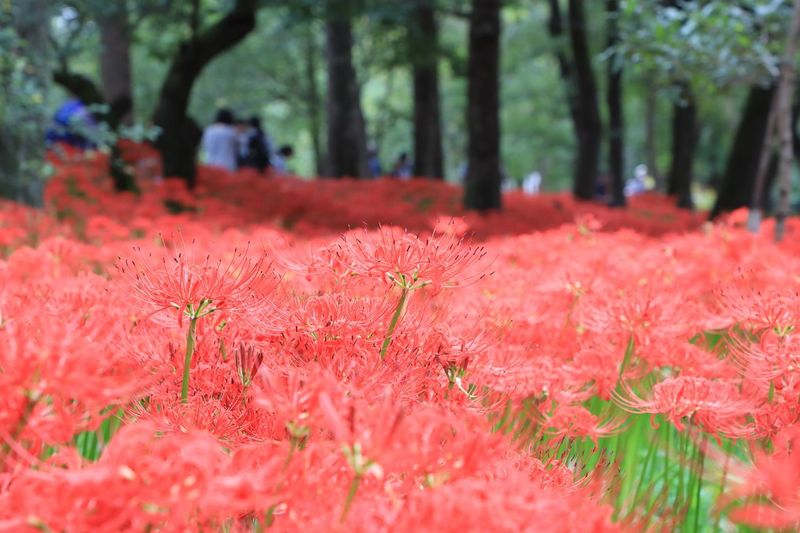 Close-up of red flower tree