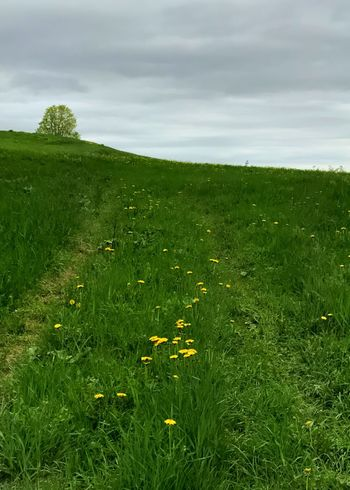 Dandelion road in a grassy field. Dandelion Field Grass Grass Green Color Field Landscape Vertical Road Country Road Sky Scenics Green Cloud - Sky Outdoors Rural Scene No People Betterlandscapes