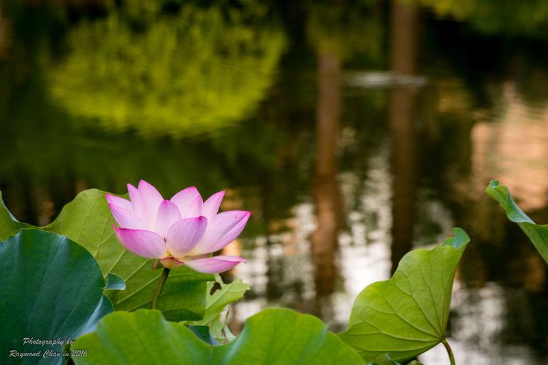 Lotus Flower Beauty In Nature Flower HongKong Lotus Flower Nature Outdoors Pond