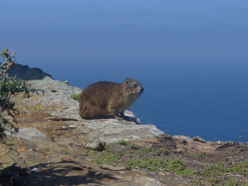 Animal Themes Animals In The Wild Beauty In Nature Cape Of Good Hope Clear Sky Dassie Day Klippschliefer Mammal Nature No People One Animal Outdoors Sea Water