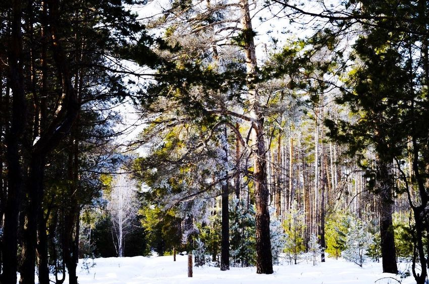 Russia Borisoglebsk Cold❄️ Forest Snow Tree Homeland