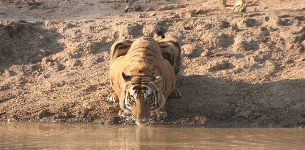 Thirsty Tiger..! Beauty In Nature Nature Travel Destinations Water