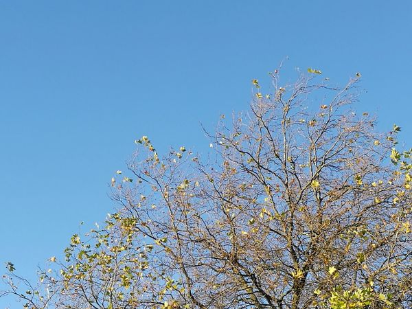 Blue Sky Nature Beauty In Nature Clear Sky Outdoors Low Angle View No People Branch Tree Day Overhead Overhead View Looking Up Tree Space For Text Autumn October Freshness Multi Colored Contrasts