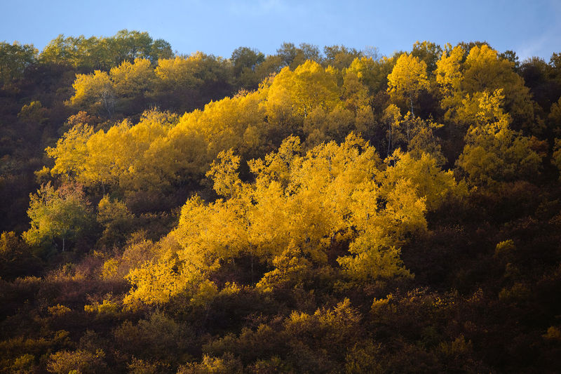 High angle view of yellow flower trees in forest