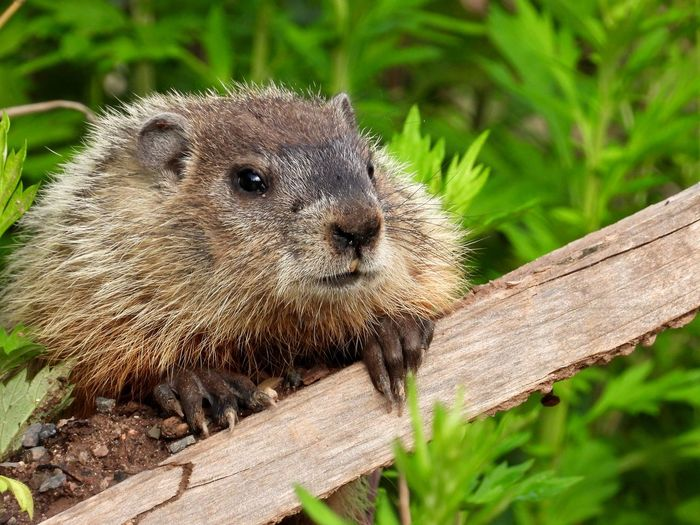 Close-up of a baby groundhog on wood