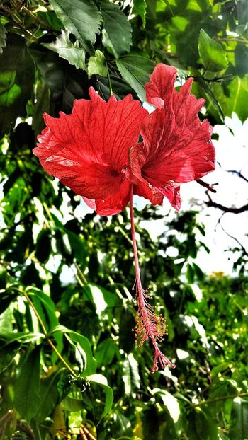 Hibiscus Red Leaf Nature Flower Beauty In Nature Growth Low Angle View Flower Head No People Day Fragility Close-up Outdoors