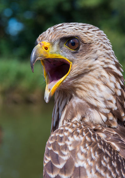 Close-up of yellow-billed kite squawking outdoors