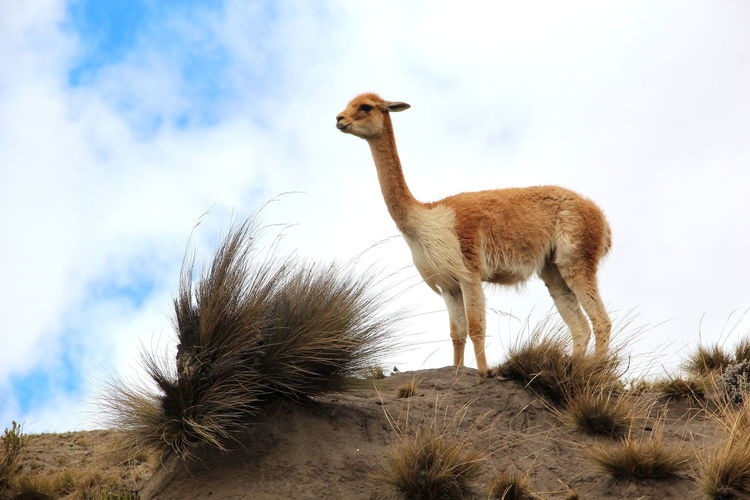 High angle view of an alpaca against cloudy sky