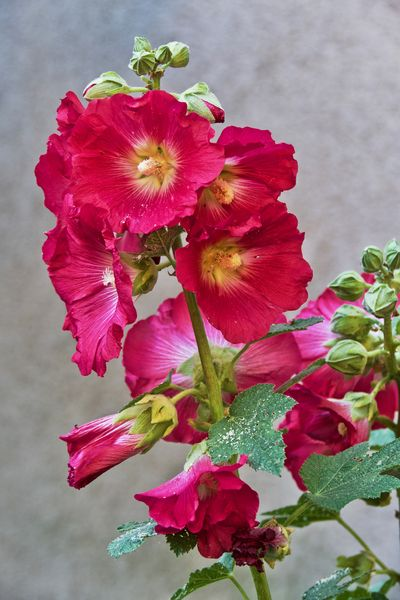 EyeEm Nature Lover Garden Flowers Hollyhock Stockrosen Beauty In Nature Close-up Flower Flower Head Growth Hollyhock Blossom Hollyhock Bud Nature No People Outdoors Petal Pink Color Plant
