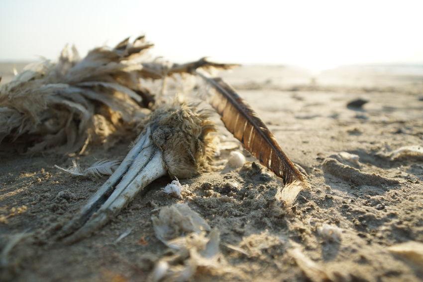 Dead gannet on the beach Denmark Feathers Skeleton Sunlight Animal Themes Animals In The Wild Beach Beachphotography Bird Close-up Day Daylight Dead Animal Decayed Decayed Beauty Gannet Jutland Nature No People North Sea Outdoors Sand Sandy Seabird Skull